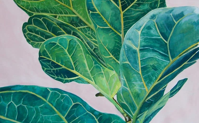 Ficus lyrata, Fiddle Leaf Fig